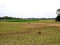 Campo de arroz cosechado, Bangladesh Foto de archivo libre de regalías