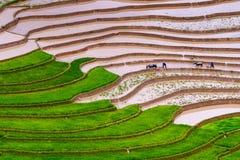 Campo de arroz de arroz Fotos de archivo libres de regalías