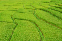 Campo de arroz de arroz Foto de archivo