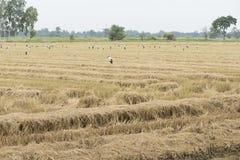 Campo de arroz de arroz después de la cosecha Fotografía de archivo libre de regalías