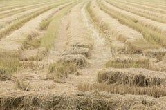 Campo de arroz de arroz después de la cosecha Imagen de archivo libre de regalías