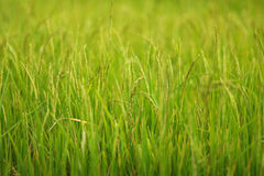 Campo de arroz de arroz, detalle de la planta Foto de archivo libre de regalías