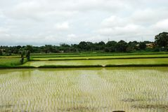 Campo de arroz de arroz - paisaje Imagen de archivo