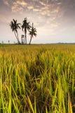 Campo de arroz de Sekinchan con salida del sol Imágenes de archivo libres de regalías