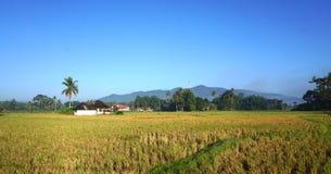 Campo de arroz después de cosechar Fotografía de archivo libre de regalías