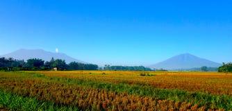 Campo de arroz después de cosechar Foto de archivo libre de regalías