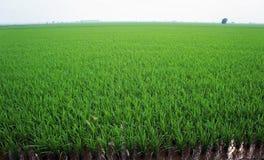 Campo de arroz en el país de Asia Fotos de archivo