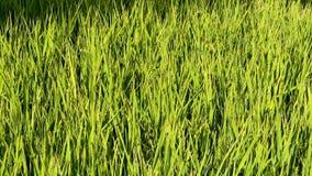 Campo de arroz en Italia metrajes