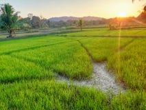 Campo de arroz en Sri Lanka fotos de archivo