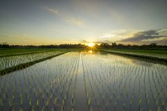 Campo de arroz en Yogyakarta fotos de archivo