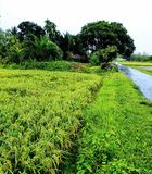 Campo de arroz natural hermoso verde de días lluviosos fotos de archivo