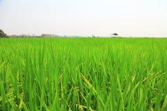 Campo de arroz o campo del arroz con la cabaña Foto de archivo