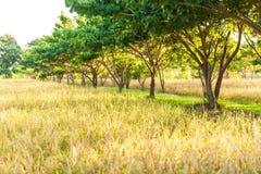 Campo de arroz org?nico del paisaje en la salida del sol, plantaci?n del arroz en la sombra de ?rboles tropicales O?dos de oro de foto de archivo