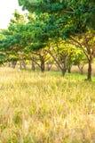 Campo de arroz org?nico del paisaje en la salida del sol, plantaci?n del arroz en la sombra de ?rboles tropicales O?dos de oro de foto de archivo libre de regalías