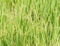 Campo de arroz puro Fotos de archivo libres de regalías