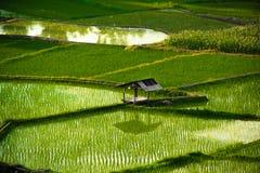 Campo de arroz tailandés Imagen de archivo