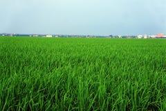 Campo de arroz verde Fotos de archivo libres de regalías