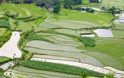 Campo de arroz verde imagen de archivo libre de regalías