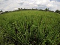 Campo de arroz verde Imagenes de archivo