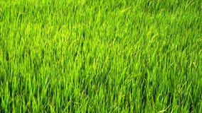 Campo de arroz verde metrajes