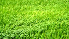 Campo de arroz verde almacen de video