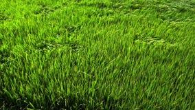 Campo de arroz verde almacen de metraje de vídeo