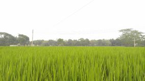Campo de arroz verde en Bangladesh imagen de archivo
