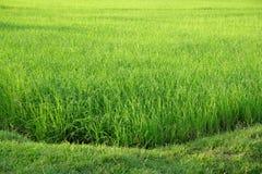 Campo de arroz verde en el campo con la luz del sol imagenes de archivo