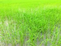Campo de arroz verde enorme en Asia foto de archivo libre de regalías