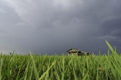 Campo de arroz verde y casa de madera del abandono con el fondo dramático de la nube Fotos de archivo
