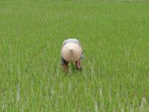 Campo de arroz, Vietnam Imagen de archivo