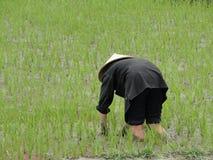 Campo de arroz, Vietnam Fotos de archivo