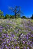 Campo de asteres púrpuras Fotos de archivo