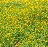 Campo de botões de ouro amarelos brilhantes Fotografia de Stock Royalty Free