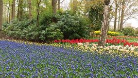 Campo de botryoides, de tulipas e de narciso do Muscari Fotografia de Stock Royalty Free