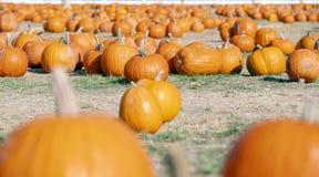 Campo de calabazas durante Halloween foto de archivo libre de regalías