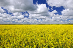 Campo de Canola Fotos de Stock Royalty Free
