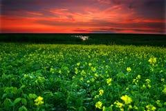 Campo de Canola en la puesta del sol Imagenes de archivo