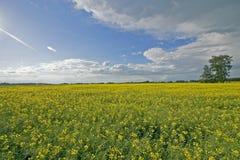 Campo de Canola y cielos azules imagen de archivo libre de regalías