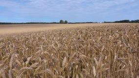 Campo de cereais com orelhas amarelas vídeos de arquivo