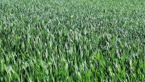 Campo de cereais verde no verão vídeos de arquivo