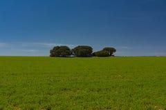 Campo de cereal, carvalhos de pequena ilha e céu azul imagens de stock