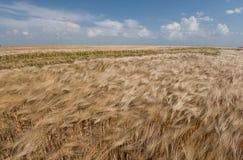 Campo de cereal dourado na paisagem do verão Foto de Stock Royalty Free