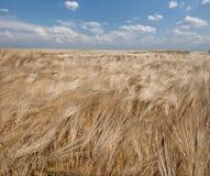 Campo de cereal dourado na paisagem do verão Fotos de Stock