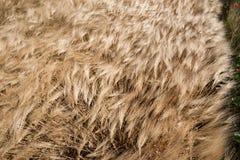 Campo de cereal dourado na paisagem do verão Fotos de Stock Royalty Free
