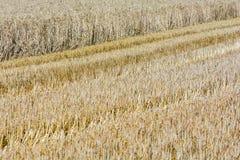 Campo de cereal em parte colhido fotografia de stock royalty free