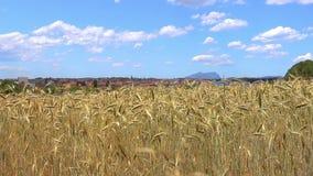 Campo de cereal maduro na luz do verão video estoque