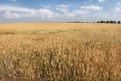 Campo de cereal na paisagem do verão Fotos de Stock