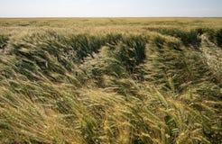 Campo de cereal na paisagem do verão Fotografia de Stock Royalty Free