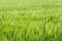 Campo de cereales verdes Imagen de archivo libre de regalías